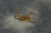 1024px-Bbasgen-bark-scorpion.jpg