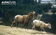 Bighorn-sheep-male-sniffing-female