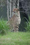 Cheetah LG