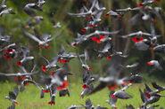 Flock of African Grey Parrots