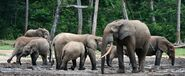 Herd or Parade of Forest Elephants