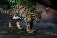Leopard, clouded