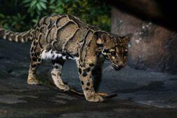 Leopard, clouded.jpg