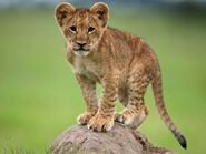 Lion-cub-standing-on-rock 27535 600x450