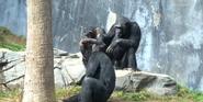 Los Angeles Zoo Chimps