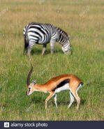 Plains Zebra and Thomson's Gazelle