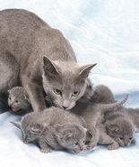 Russian Blue with Kittens