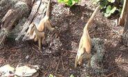 Saint Louis Zoo Compsognathus