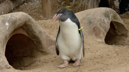 The Zoo Macaroni Penguin