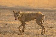 Wolf, Indian (V2)