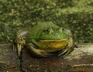 American bullfrog (Lithobates catesbeianus)
