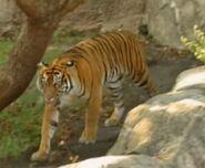 B&F Tiger