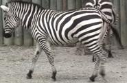 Buffalo Zoo Grant's Zebra