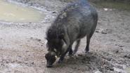 Cincinnati Zoo Warty Pig (V2)