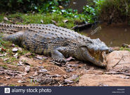 Crocodile, Malagasy Nile
