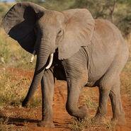 Elephant, Ethiopian