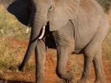 Ethiopian Elephant
