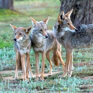 Family of Coyotes