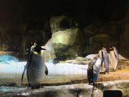 IMG 0901 king penguin