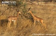 Male and female gerenuks