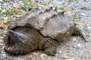 Turtle, Alligator Snapping