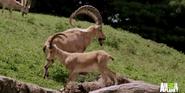 Bronyx Zoo TV Series Ibex