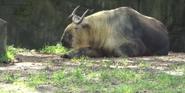 Cleveland Metroparks Zoo Takin