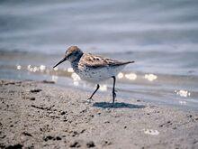 Common-sandpiper 504 600x450.jpg