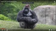 Detroit Zoo Gorilla