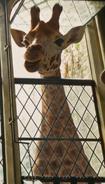 Doolitle 2020 Giraffe
