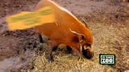 El Paso Zoo Hog