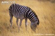 Equus quagga burchelli
