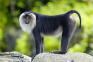 Macaque, Lion-Tailed