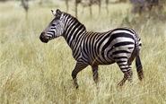 Plains Zebra (V2)