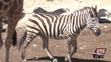 San Antonio Zoo Zebra