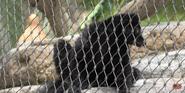 San Diego Zoo Blue-Eyed Black Lemur