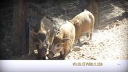 WWLZ&AQ River Hogs