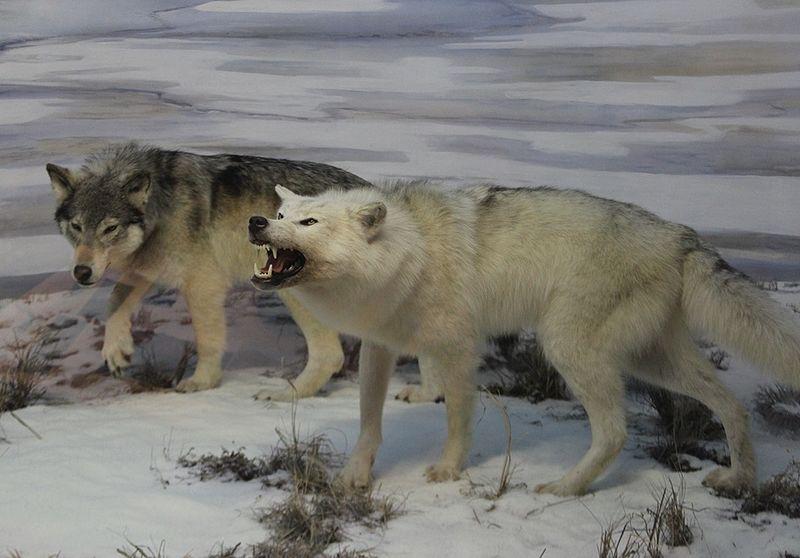 Beringian Wolf