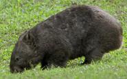 CITIRWN Wombat