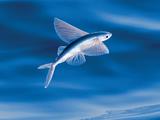 Atlantic Flying Fish