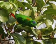 Hanging Parrot, Blue-Crowned.jpg