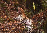 Javan leopard being a cat.jpg.662x0 q70 crop-scale.jpg