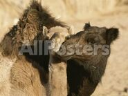 Male and Female Camels