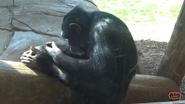 Oklahoma City Zoo Chimpanzee
