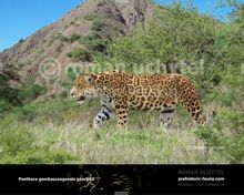 Panthera-gombaszoegensis-georgica-738x591.jpg