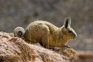 Southern Viscacha