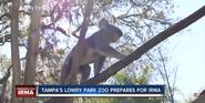 Tampa Lowry Park Zoo Koala