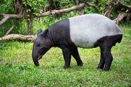 Tapir, Malayan (V2)