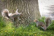 Two eastern grey squirrels