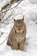 640px-Canada lynx by Michael Zahra